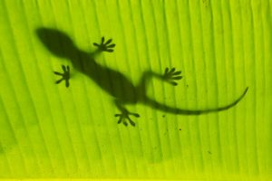 Silhouette of tokay gecko on